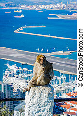 Macaque monkey above Gibraltar city