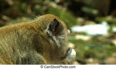 Macaque Monkey Chewing Food - Handheld, close up shot of a...