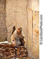 Macaque monkey eating bean