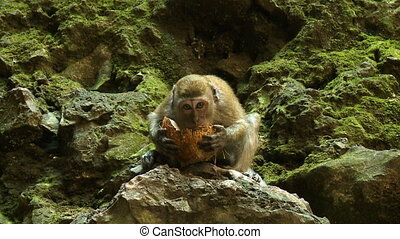Macaque Monkey Eating Coconut - Handheld, medium close up...