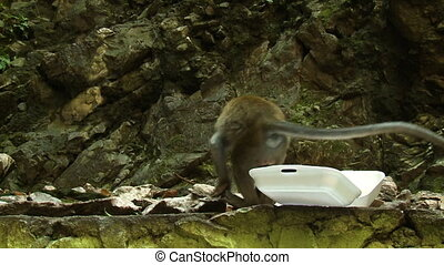 Macaque Monkey Eats From Styrofoam Container - Handheld,...