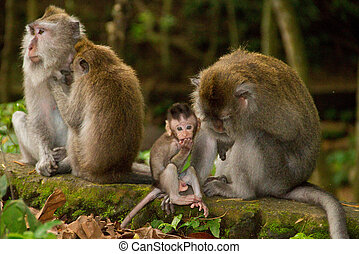 Macaque monkey family lousing