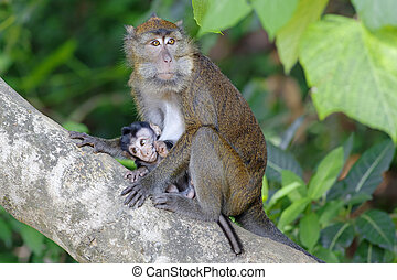 Macaque Monkey in the jungel of Philippines