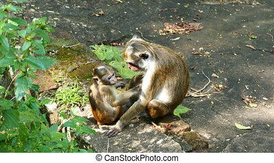 macaque monkey mother and child