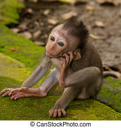 Macaque monkey portrait baby