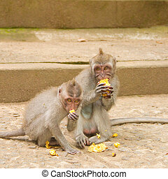 Macaque monkey portrait eating