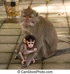 Macaque monkey portrait, mother and