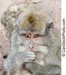Macaque monkey portrait