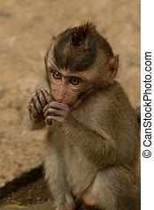 Macaque monkey portrait sitting