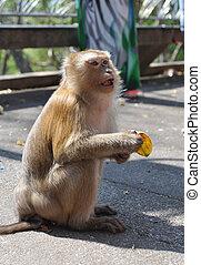 Macaque monkey portrait with banana