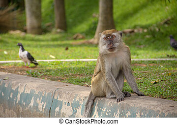 Macaque monkey sitting by the park road, with a bird strolling on the background.
