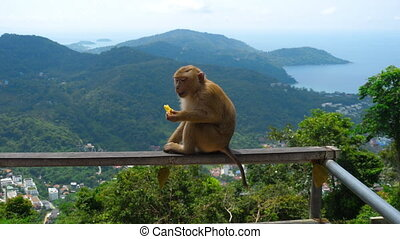 Macaque on hill of Phuket