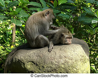 macaque on stomach being deloused at ubud, bali
