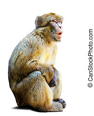 macaque, op, barbary, witte achtergrond