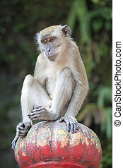 macaque, seduta, cima, scimmia