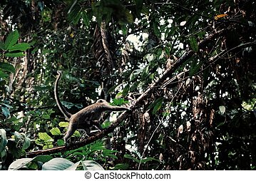 macaque with a young baby crawling on a liana in the middle of the borneo rainforest