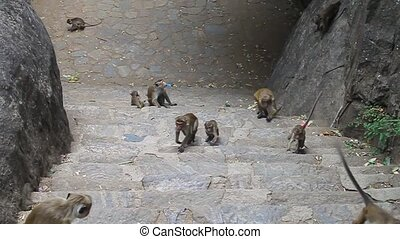 Macaques near Dambulla cave temple - Macaques on a stairway...