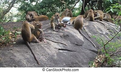 Macaques near Dambulla cave temple, Sri Lanka