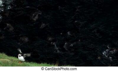 macareux, sommet, ailes, s'agiter, falaise