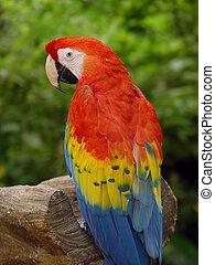 macaw, オウム