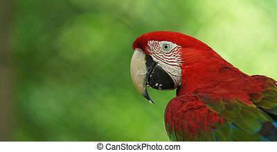 macaw, 科学, ecuadorian, 共通, names:, guacamayo, ara, 緑, amazon...