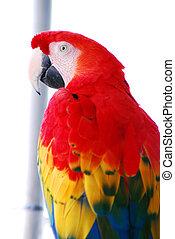 macaw, 鳥, 赤