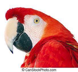 macaw, 鳥, 赤, 隔離された