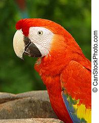 macaw, (2), オウム