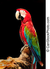 Macaw - A beautiful macaw eagerly looking at the camera