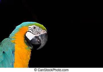 A colorful macaw isolated on a ablack back ground