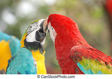 macaw bird kissing