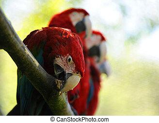 Macaw birds