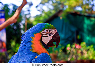 macaw, blue-and-yellow