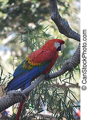 macaw, coloré, vibrant, plumes, écarlate, joli