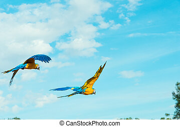 macaw couple flying together