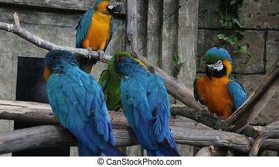 Macaw fighting for his female. part