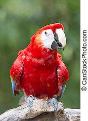 macaw, fugl, branch