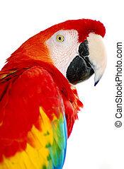 macaw, fugl, rød