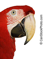 macaw, green-winged