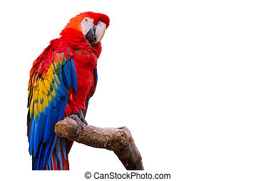 macaw, isoleret, papegøjer, baggrund, hvid fugl
