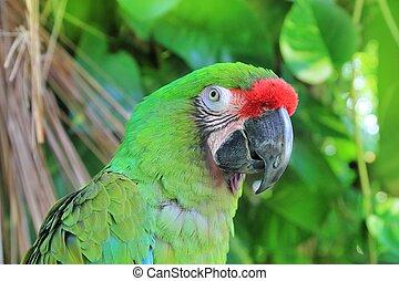 macaw, papegøje, ara., grønne, militaris, militær