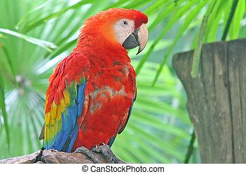 macaw, papegøje