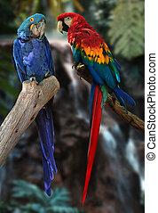 macaw, papegøjer