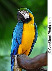 macaw, papegøjer, natur