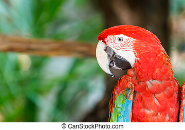 macaw., papegaai