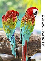 macaw, papegaaien, natuur