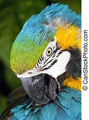 Macaw Parot