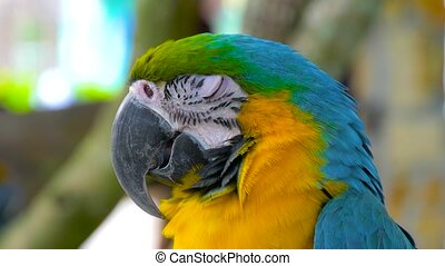 Macaw parrot blue-and-yellow close up