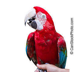 Macaw parrot on white background