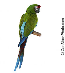 Macaw Parrot Perching - Colorful Green Parrot Macaw On White...